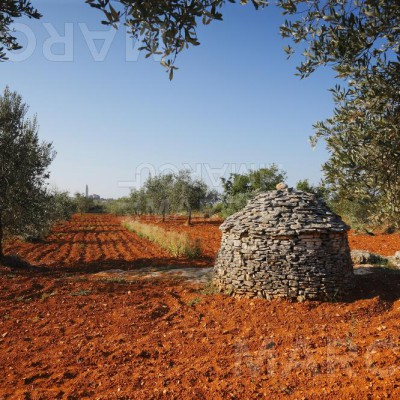 Olive Tree With The Istrian Shelter